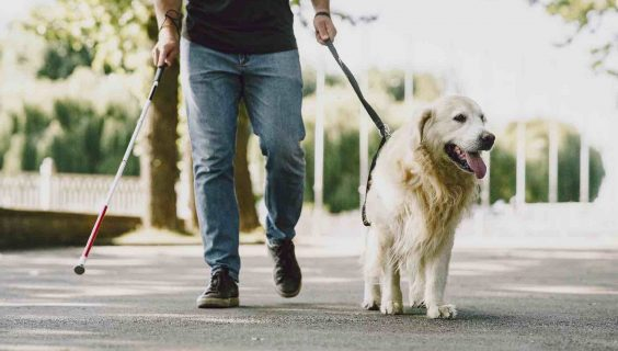 Guide dog helping blind man in the city who is also using a stick.