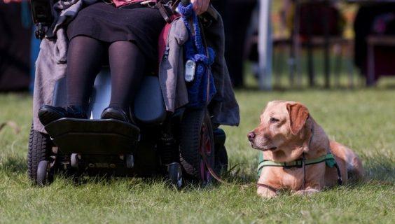 A helper dog laying on the grass beside a wheelchair